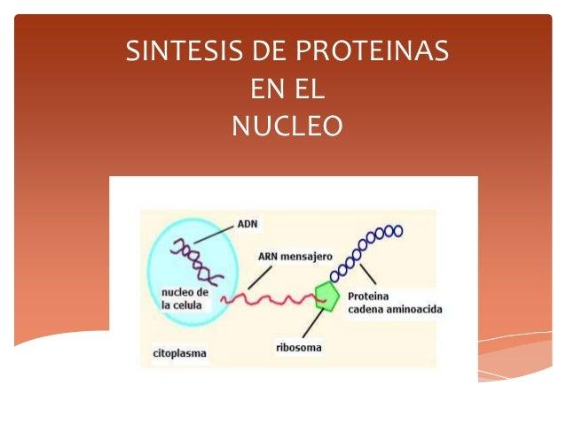 SINTESIS DE PROTEINAS EN EL NUCLEO