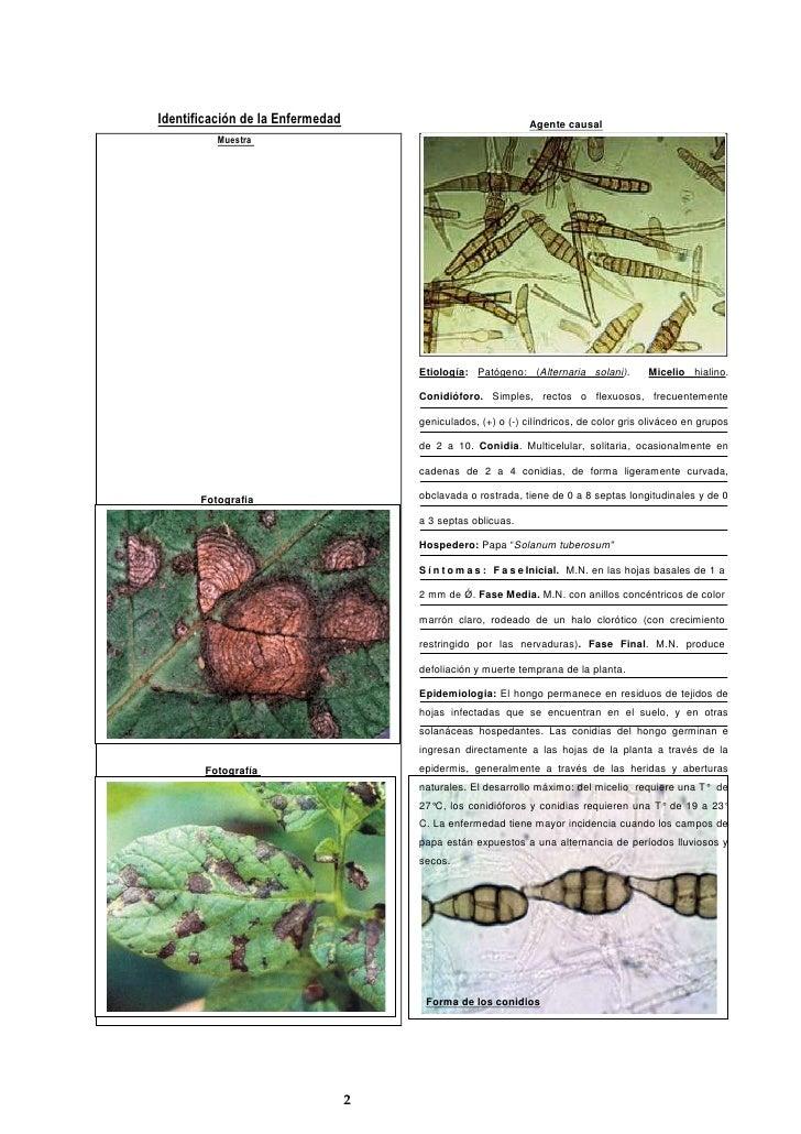 Identificación de la Enfermedad  <br />Muestra Etiología: Patógeno: (Alternaria solani).  Micelio hialino. Conidióforo. Si...