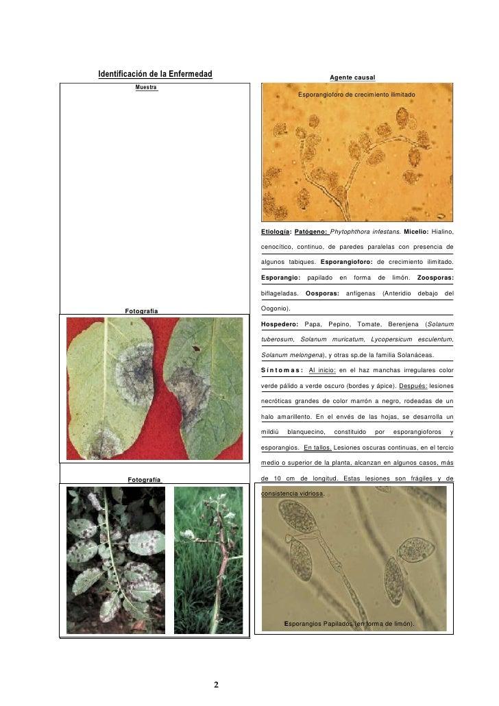 Identificación de la Enfermedad  <br />Muestra Esporangios Papilados (en forma de limón).Etiología: Patógeno: Phytophthora...