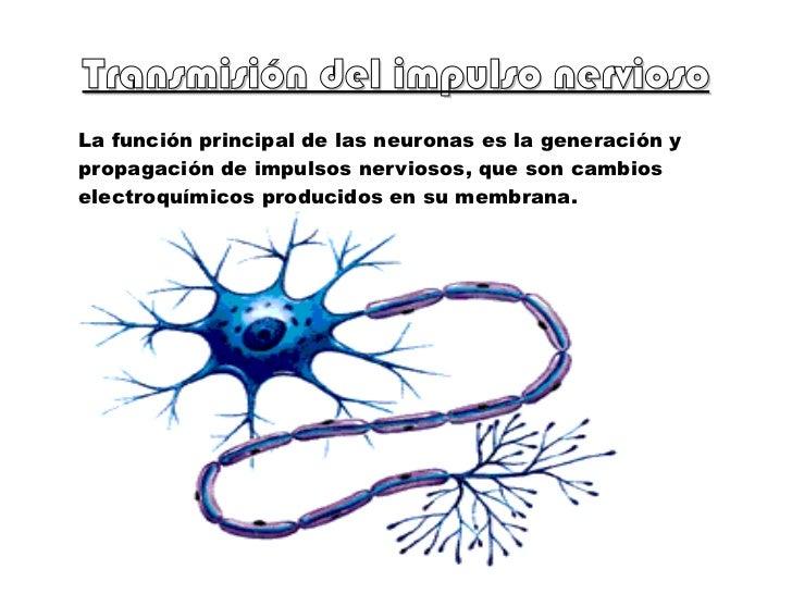Transmisión del impulso nervioso La función principal de las neuronas es la generación y propagación de impulsos nerviosos...
