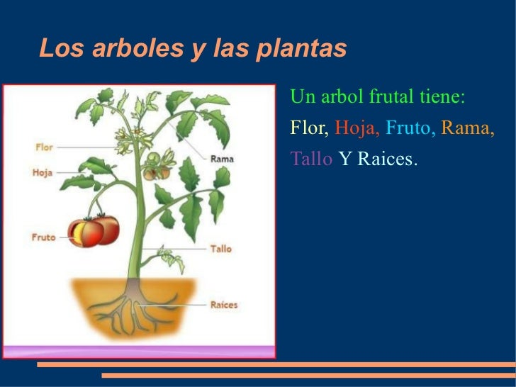 Los arboles y las plantas <ul><li>Un arbol frutal tiene: </li></ul><ul><li>Flor,  Hoja,  Fruto,  Rama, </li></ul><ul><li>T...