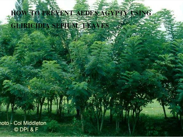 HOW TO PREVENT AEDES AGYPTY USING GLIRICIDIA SEPIUM LEAVES