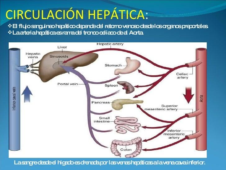 Atractivo Anatomía Circulación Portal Embellecimiento - Anatomía de ...