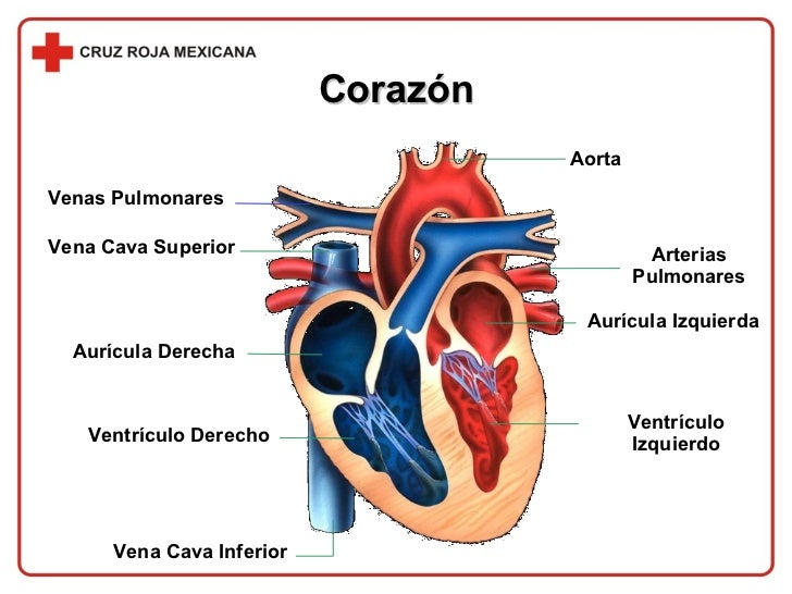 Fantástico Vena Y Arteria Anatomía Inspiración - Anatomía de Las ...