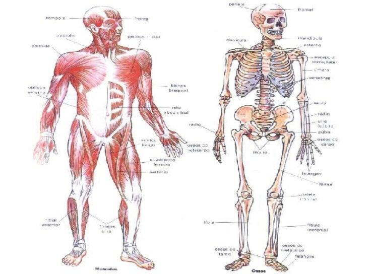 Atractivo El Sistema Músculo Esquelético Bosquejo - Anatomía de Las ...