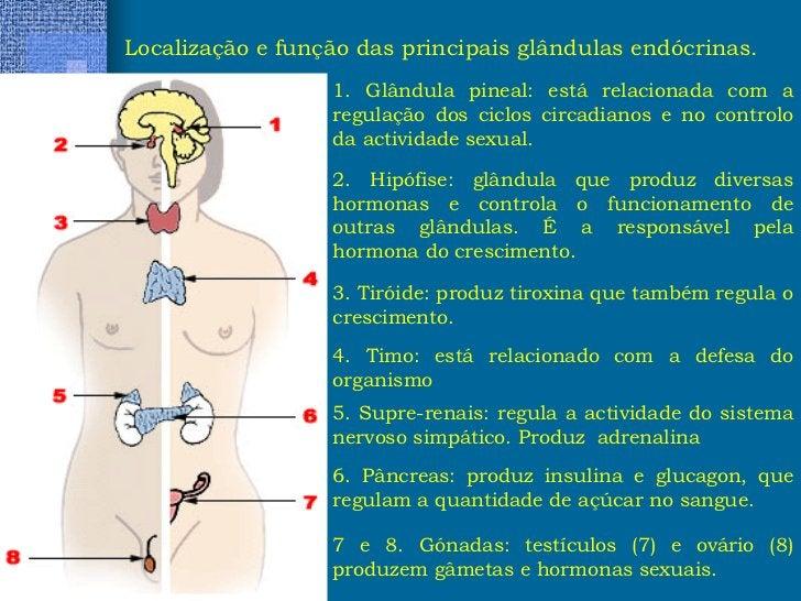 Localização e função das principais glândulas endócrinas. 1. Glândula pineal: está relacionada com a regulação dos ciclos ...
