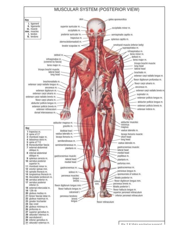 Esqueleto Humano Vista Anterior Y Posterior - Nerthotsburnhadex