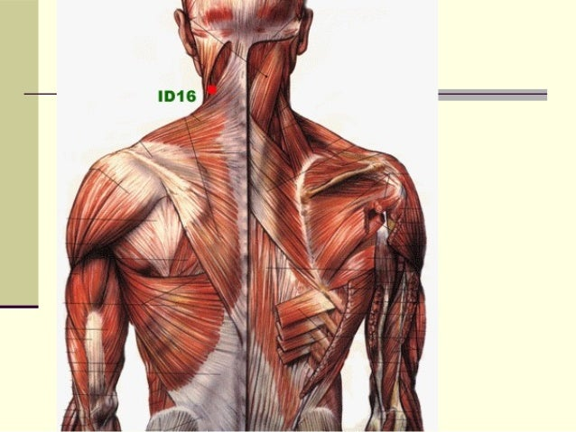 Sistema muscular for Esternohioideo y esternotiroideo