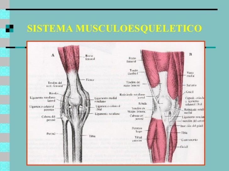 sistema-musculoesqueletico-8-728.jpg?cb=1179343264