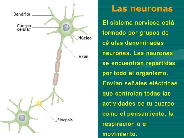 Las neuronasEl sistema nervioso estáformado por grupos decélulas denominadasneuronas. Las neuronasse encuentran repartidas...