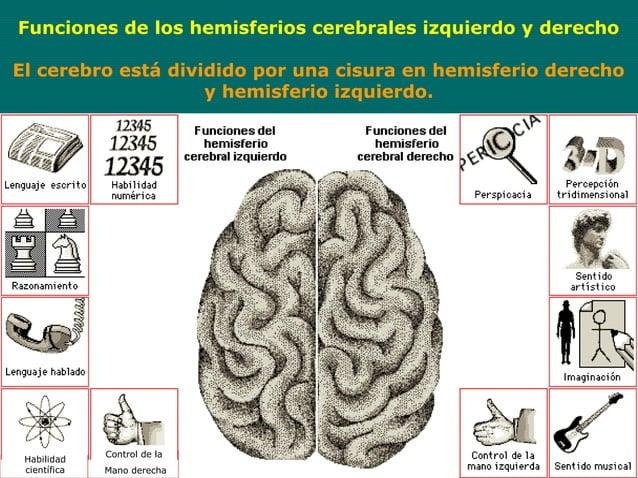 Funciones de los hemisferios cerebrales izquierdo y derechoEl cerebro está dividido por una cisura en hemisferio derecho  ...