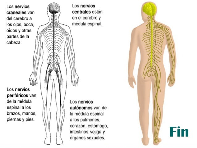 Sistema nervioso-101001125126-phpapp01