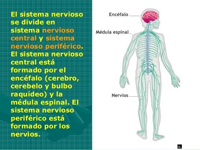 El sistema nerviosose divide ensistema nerviosocentral y sistemanervioso periférico.El sistema nerviosocentral estáformado...