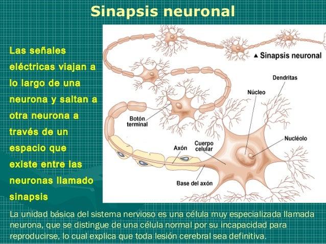 Sinapsis neuronalLas señaleseléctricas viajan alo largo de unaneurona y saltan aotra neurona através de unespacio queexist...