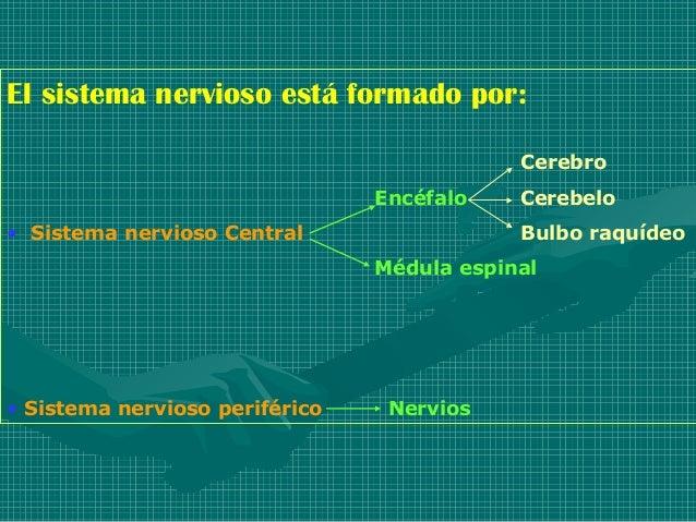 El sistema nervioso está formado por:                                            Cerebro                                En...