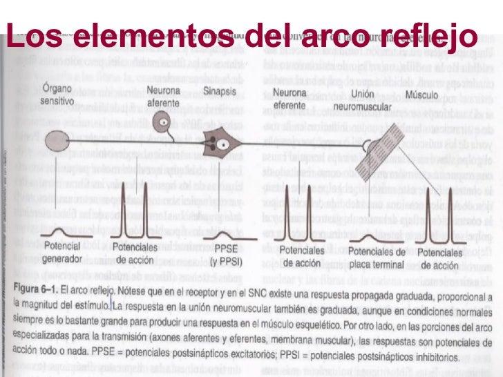 Sistema Nervioso Arco Reflejo
