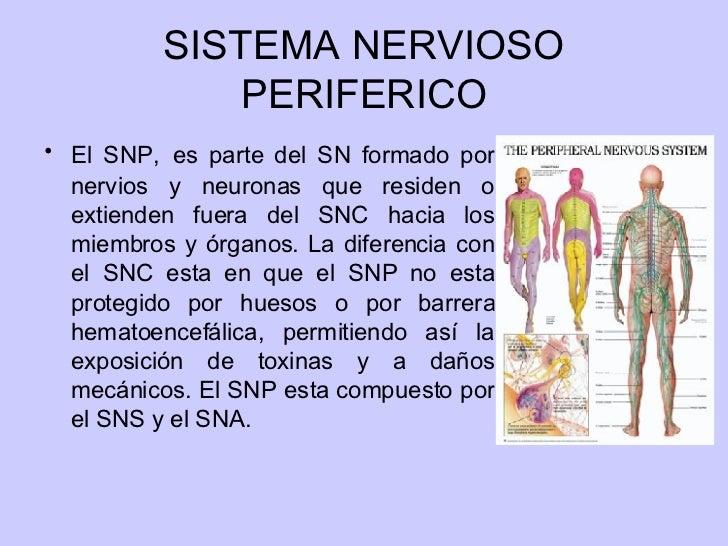 Excepcional órganos En El Sistema Nervioso Colección - Anatomía de ...