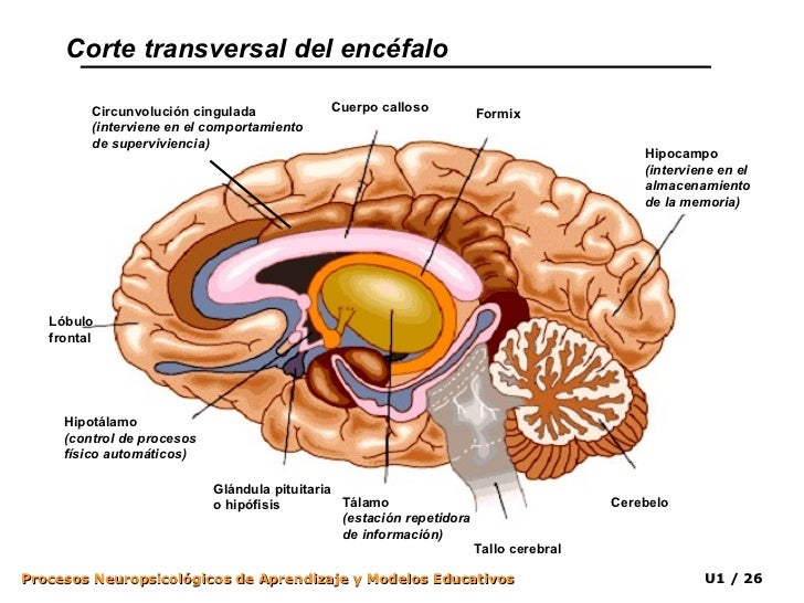 Sistema Nervioso y Aprendizaje I