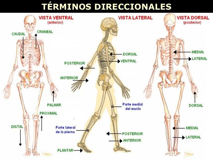 Contemporáneo Anatomía Términos Direccionales Hoja De Trabajo Patrón ...