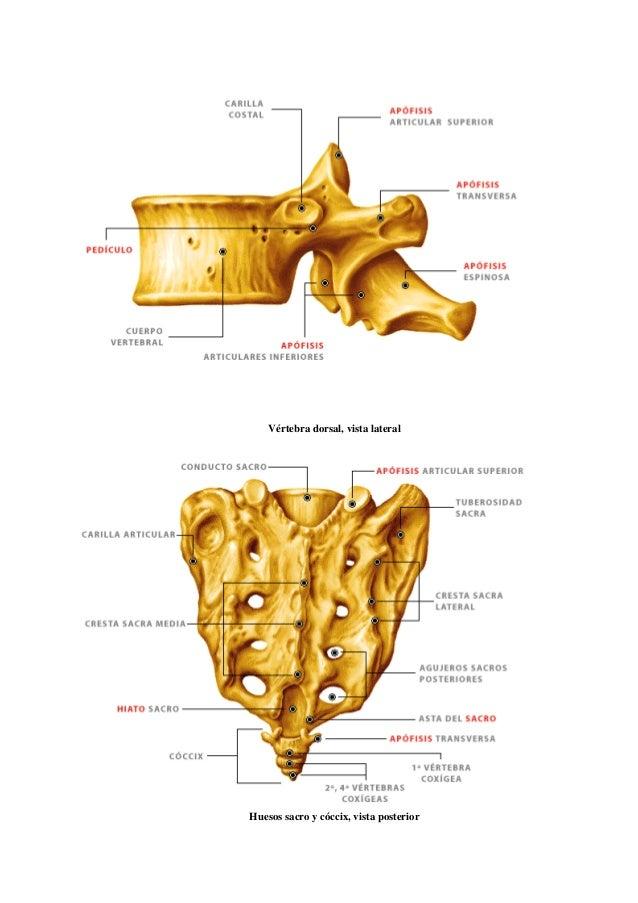 Vistoso Coxis Huesos Festooning - Imágenes de Anatomía Humana ...