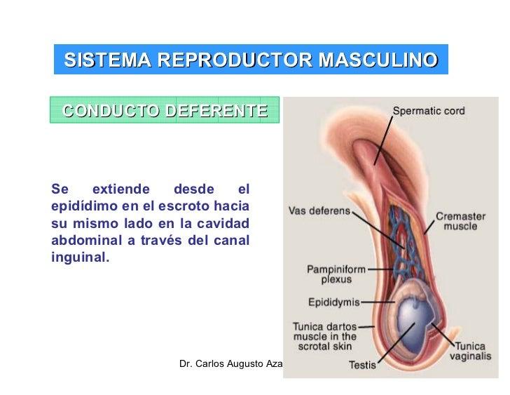 sistema-reproductor-masculino-31-728.jpg?cb=1292253428