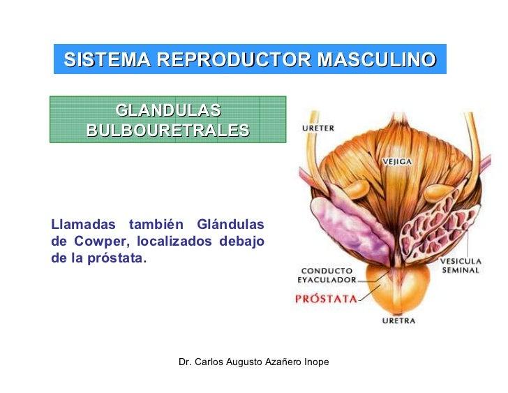 Perfecto Anatomía De La Glándula De La Próstata Fotos Imágenes ...