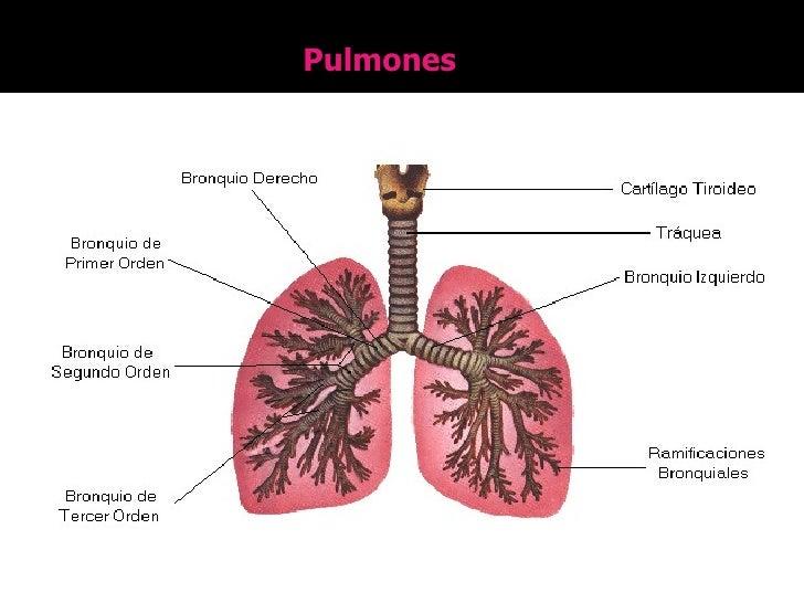 Sistema Respiratorio En Vertebrados