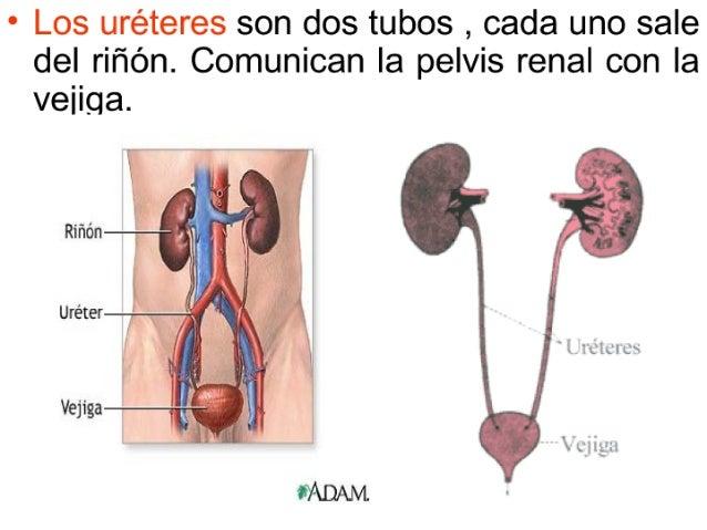 sistema-urinario-8-638.jpg?cb=1422652192