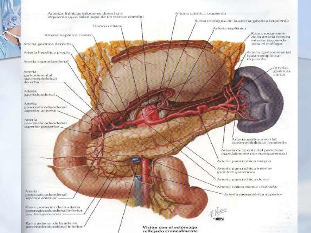 Sistema arterial abdominal