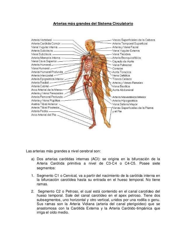 Sistema arterial del cerebro