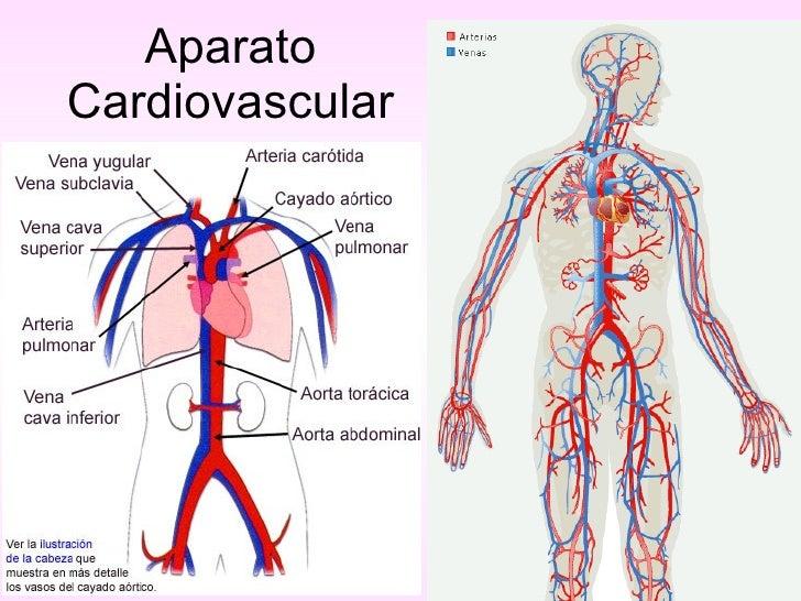 Asombroso Anatomía Vascular Pulmonar Molde - Anatomía de Las ...