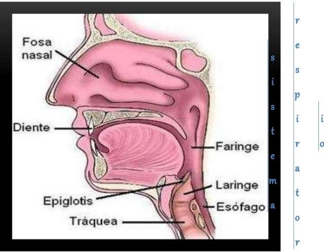 Sistema cardio respiratorio
