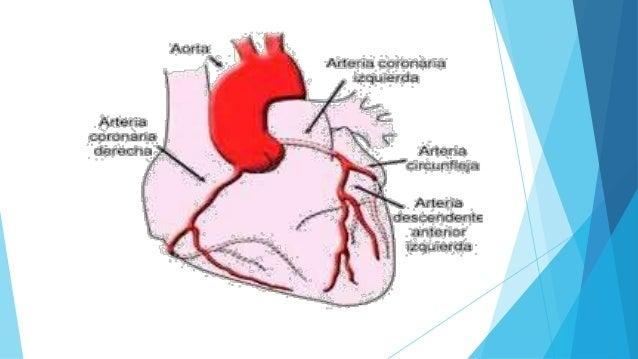 Sistema Cardiovascular (ANATOMIA)