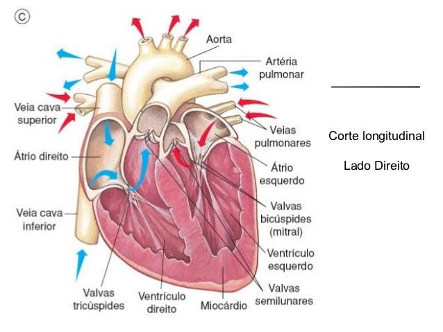 Sistema cardiovascular a circulação