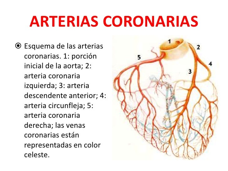 Famoso Anatomía Arterias Cardíacas Ornamento - Anatomía de Las ...