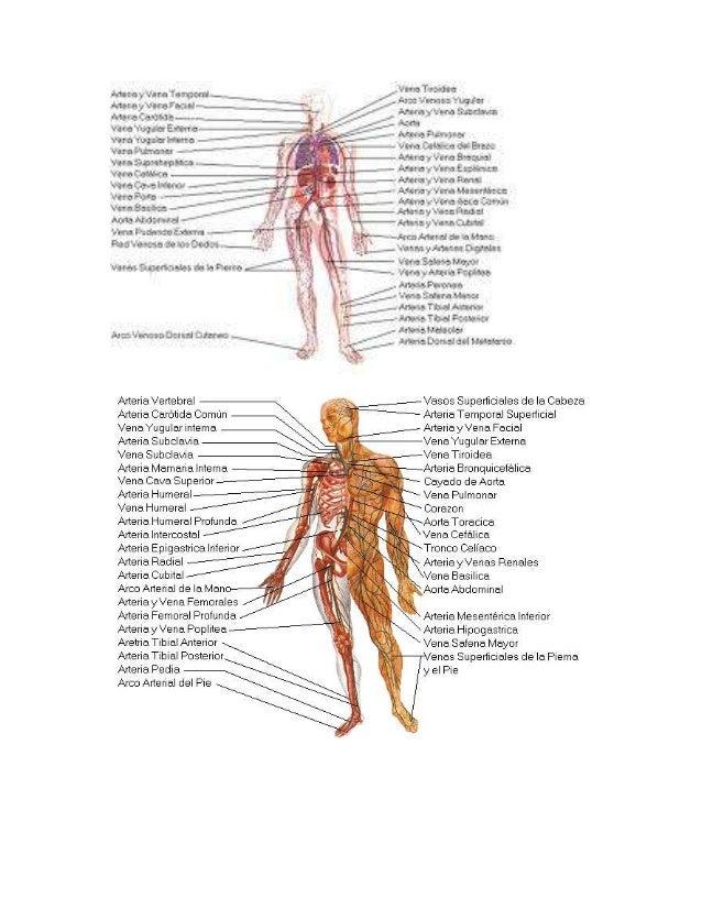 Ausgezeichnet Anatomie Der Aorta Und Zweigen Fotos - Menschliche ...