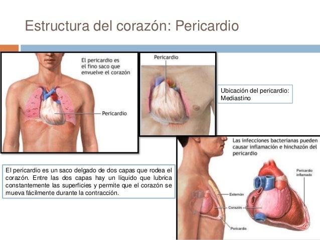Sistema circulatori corazon