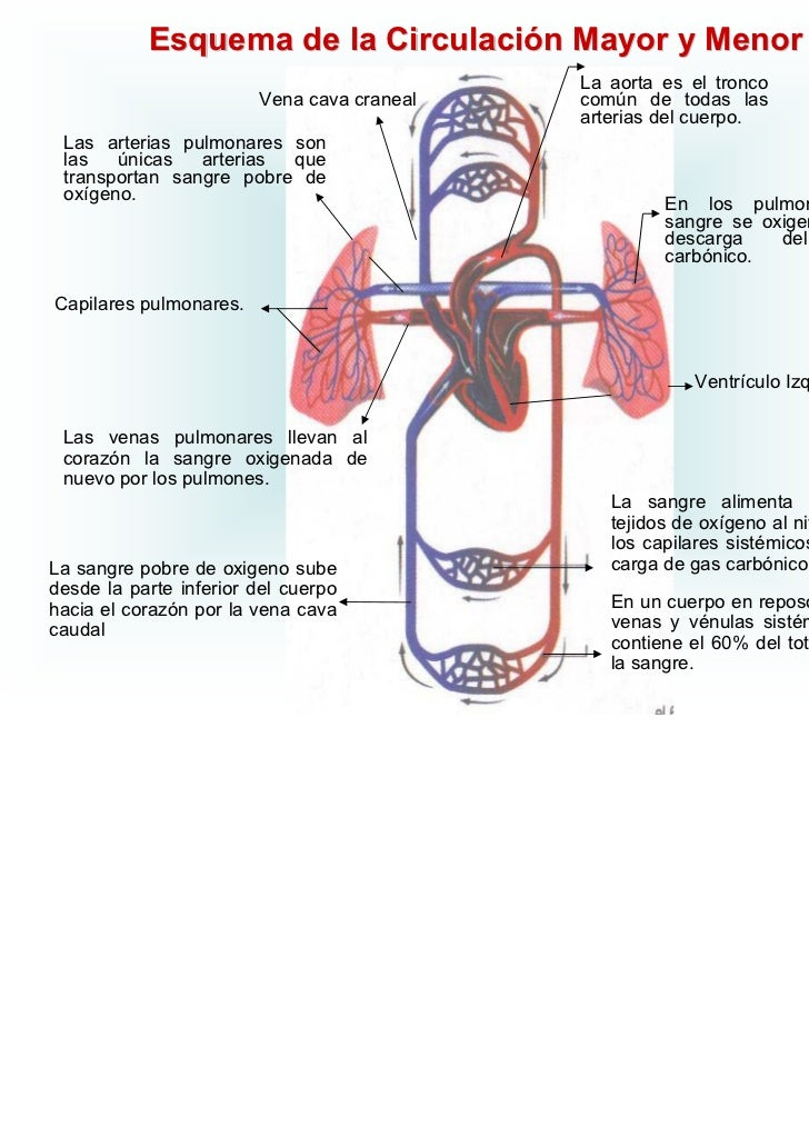 Increíble Diagrama De Corazón Sistema Circulatorio Componente ...