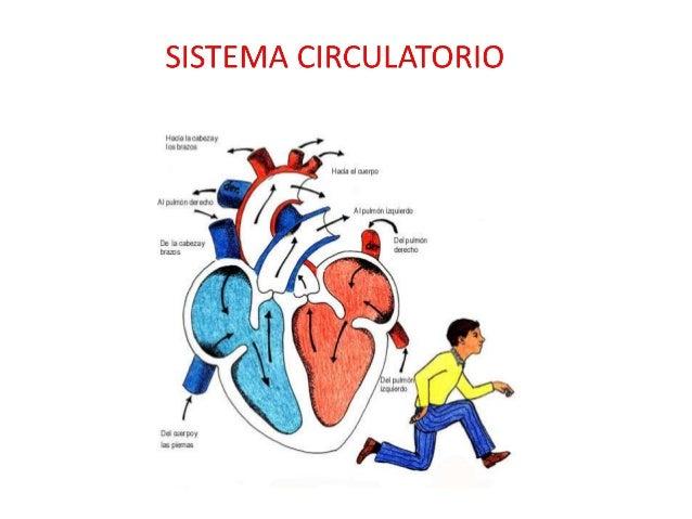 SISTEMA CIRCULATORIO Se relaciona íntimamente S. Digestivo, Respiratorio Tiene funciones anabólicas y catabólicas Siste...
