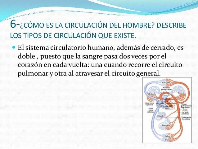  Circuito pulmonar o menor: La sangre sale delventrículo derecho por las arterias pulmonares y sedirige hacia los pulmone...