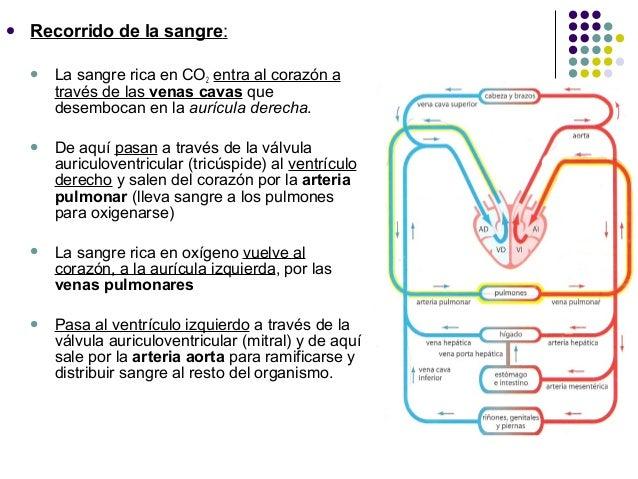 Circuito Que Realiza La Sangre : Sistema circulatorio