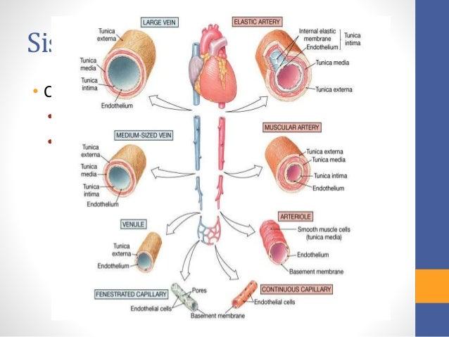 Histologia del Sistema Circulatorio