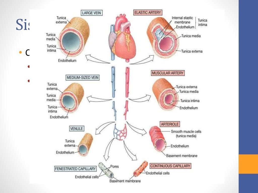 Circuito Sanguineo : Histologia del sistema circulatorio