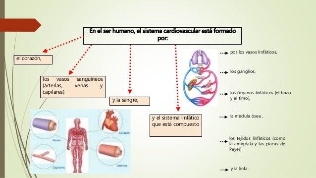 Circuito Circulatorio : Sistema circulatorio