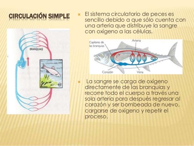 Circuito Circulatorio : Sistema circulatorio en vertebrados