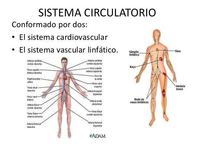 Sistema circulatorio - Histología