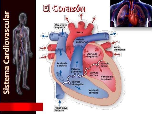 Circuito Circulatorio : Sistema circulatorio humano
