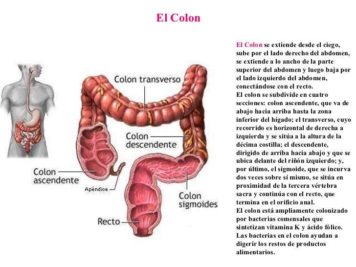 Perfecto Dónde Está El Apéndice Ilustración - Anatomía de Las ...