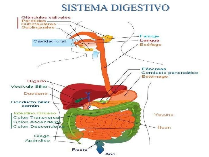 sistema-digestivo-3-728.jpg?cb=1284584459