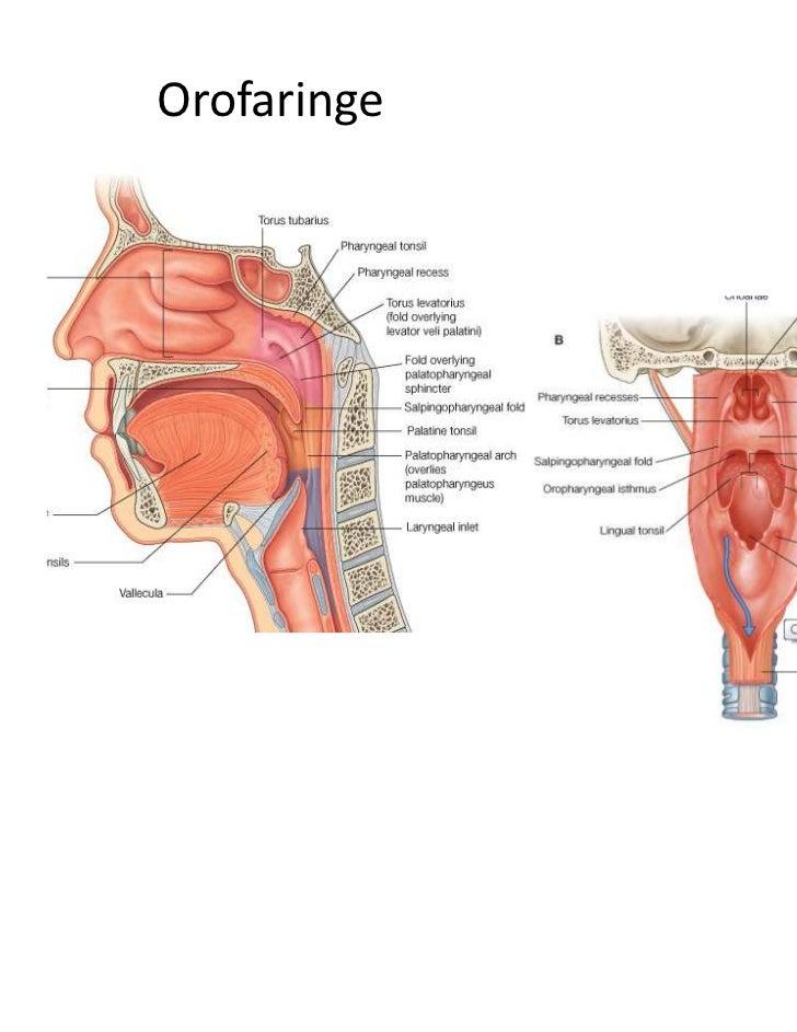 Anatomia Sistema digestivo